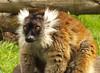 Black lemur (Eulemur macaco) female (shadowshador) Tags: black lemur eulemur macaco neomura eukaryota opisthokonta holozoa filozoa animalia eumetazoa bilateria deuterostomia chordata vertebrata gnathostomata tetrapoda tetrapod tetrapods amniota mammalia theria eutheria boreoeutheria euarchontoglires primates strepsirrhini lemuriformes lemuridae taxonomy scientific classification biology mammalogy wildlife life