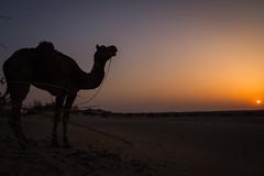 Rajasthan - Jaisalmer - Desert Safari with Camels-60