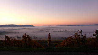 Morning in the vineyards