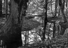 151017-4 (salparadise666) Tags: voigtlander bergheil 9x12 schneider symmar 210mm fomapan 10064 caffenol rs 15min nils volkmer analogue film large format view camera vintage horizontal landscape nature trees creek bw black white monochrome mirror autumn hannover region niedersachsen germany
