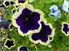 Nice Petunias (** Janets Photos **) Tags: uk plants flora flowers petunias macro closeups
