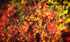 the colours of autumn (AngyDS) Tags: colours autumn fall leafes red yellow colorfull october wine sunny light nature herbst farben rot gelb leuchtend laub bunt blätter