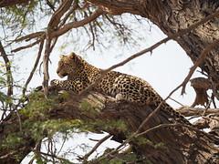PA012281 Leopard (Joanna P Dale) Tags: kgalagaditransfrontierpark tweerivieren olympus omdem1mkii panasonic100400 africanleopard leopard
