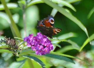Aglais io (Peacock Butterfly) on Butterfly Plant, Uster, Switzerland
