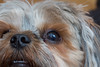 chewie (timp37) Tags: chewie dog pet 2017 illinois chicago september