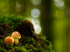 "CTT ""2 of a kind"" (davYd&s4rah) Tags: funghi mushrooms light bokeh bavaria fall green forest forestlife sun grün woods herbst wald bayern sonne licht autumn olympus m1240mm f28"