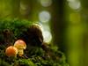 "CTT ""2 of a kind"" (davYd&s4rah) Tags: funghi mushrooms light bokeh bavaria fall green forest forestlife sun grün woods herbst wald bayern sonne licht autumn olympus m1240mm f28"