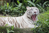 White Tiger_Canon 5dsR_HSS_High Speed Synchronized flash_BZ24 (Barry Zee) Tags: white tiger singaporezoo zooanimal 5dsr canoneos5dsr canonef300mmf4lisusm 1view0faves0commentsshowmorestatstakenonoctober3 2017allrightsreservedcanoneos5dsr whitetiger canonphotography explore hss highspeedsynchronizedflash