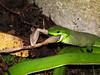 Chinese green tree viper eating (wattanumpty) Tags: taiwan snakeeating snakeeatingfrog trimeresurusstejnegeri