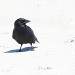 Beached Crow thumbnail