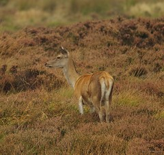 red deer peak district big moor 2017 (1) (Simon Dell Photography) Tags: simon dell photography sheffield nature wildlife animals peak district national park longshaw estate 2017 autumn fall red stag deer rutt wild majestic large male female big moor white edge hope valley september