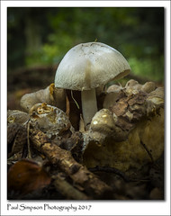 Parasite mushroom (Paul Simpson Photography) Tags: mushroom fungus fungal fungi paulsimpsonphotography nature woodland woods forest england october autumn fall twigs sonya77 sonyphotography ukfungusday imagesog imageof photoof photosof whitemushroom mushroomcup forestfruits autumnal 2017