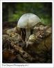 Parasite mushroom (Paul Simpson Photography) Tags: mushroom fungus fungal fungi paulsimpsonphotography nature woodland woods forest england october autumn fall twigs sonya77 sonyphotography ukfungusday imagesog imageof photoof photosof whitemushroom mushroomcup forestfruits autumnal 2017