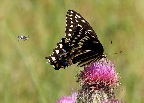 Palamedes Swallowtail (Papilio palamedes)  on Purple Thistle (Cirsium horridulum) and Leafcutter Bee (Megachile sp.)
