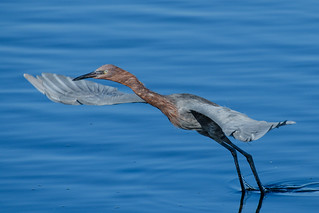 Reddish Egret: Orange Country