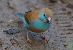 Red-cheeked cordon-bleu (Female)
