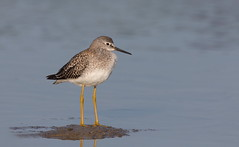 Lesser Yellowleg. (mandokid1) Tags: canon ef400mmdoii 1dx birds shorebirds