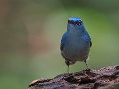 Pale Blue Flycatcher (WilliamPeh) Tags: olympus omd em5 birds birding pale blue flycatcher wild wildlife explore