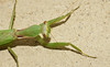 Praying mantis (Tenodera aridifolia)? (SteveInLeighton's Photos) Tags: september 2017 japan insects mantis mantid mantodea himeji