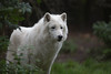 Arktischer Wolf (Mel.Rick) Tags: natur tiere säugetiere zoo zooduisburg raubtiere canislupusarctos wolf polarwolf canislupus animal mammals arktischerwolf