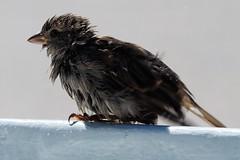 P9210227 (hugoholunder) Tags: vogel flickr spatz natur natureinfocusgroup