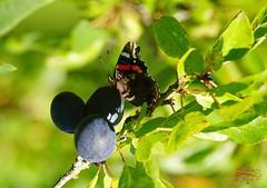 I also like plums....  :-) (Jurek.P) Tags: butterflies butterfly plums closeup motyle rusałkaadmirał redadmiral śliwki lato summer jurekp sonya77