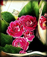 Lindas gloxínias... MCris (MCrissssss) Tags: macro flora beleza natureza flowers gloxínia flores primavera cores