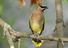 Cedar Waxwing Bird (NaturewithMar) Tags: cedar waxwing bird macro closeup 7dwf wednesday ngc coth5 npc