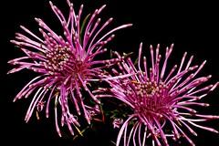 Isopogon formosus (andreas lambrianides) Tags: isopogonformosus proteaceae roseconeflower australianflora australiannativeplants westernaustralia