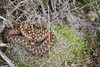 Female adder. (ChristianMoss) Tags: snake adder epping forest nature photography wildlife photo vipera berus animal wood grass bird lizard tree