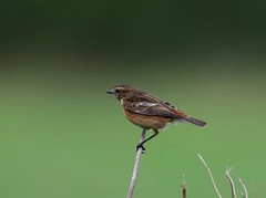 Female Stonechat (thanks to David Hall for the ID) Taken at Titchmarsh Nature Reserve, Aldwincle, Northants. UK (Ian J Hicks) Tags: