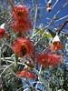 Australien_011 (Thomas Jundt + CV) Tags: australien eukalyptusblüten kingspark perth wa westernaustralia