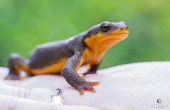 Helping Hand (matthewolsonphotography.com) Tags: buttecreekfalls roughskinnednewt newt salamander amphibian herp herpatology wildlife animal green macro canon5d outdoor