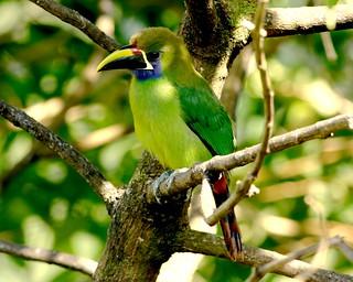 Toucanet émeraude - Emerald Toucanet