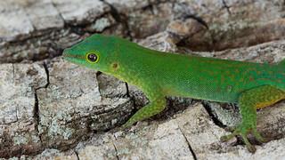 Seychelles giant day gecko (Phelsuma sundbergi)