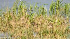 how many can you count? (RCB4J) Tags: ayrshire nature rcb4j ronniebarron scotland sigma150500mmf563dgoshsm sonyilca77m2 art photography wildbird wildlife gallinagogallinago commonsnipe lochwinnoch rspb