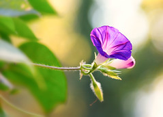 Morning Glory (mclcbooks) Tags: flower flowers floral macro closeup morningglory morningglories bokeh denverbotanicgardens colorado