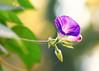 Morning Glory (mclcbooks) Tags: flower flowers floral macro closeup morningglory morningglories bokeh denverbotanicgardens colorado