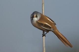 Bearded Tit (male)