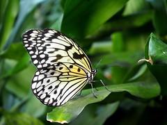 Butterflies (Kimberly_CH1993) Tags: butterfly macro macropicture vlinder aan de vliet