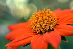 small acts of hope (joy.jordan) Tags: mexicansunflower flower color texture pollen bokeh nature backyard