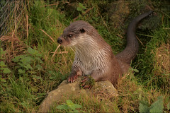 Visotter (Lutra lutra) (TeunisHaveman) Tags: visotter lutralutra zoogdier water vis otter ngc