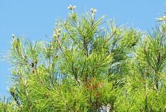Pinus clausa --  Sand Pine Tree 7161 (Tangled Bank) Tags: jonathan dickenson state park martin county florida wild nature natural mesic pine flatwoods flat woods plant flora botany quercus geminata sand scrub oak 7163