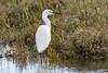 Little egret (Shane Jones) Tags: littleegret egret wader bird predator wildlife nature nikon d500 200400vr tc14eii