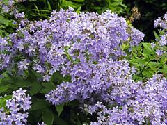 Campanula (Cornishcarolin. Thank you Everyone!! xxx) Tags: cornwall theedenproject flowers plants spreadingplants blue nature campanula