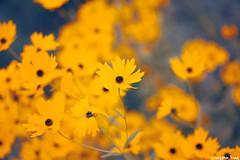 The earth (gusdiaz) Tags: nature naturephotography canon canonphotography boke depthoffield 60mm closeup yellow autumn fall otoño flores amarillo colorido naturaleza bellas