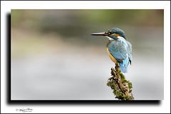 Female kingfisher, (wayne24185071) Tags: bird alcedoatthis kingfisher perch mossyperch canon1dx waynestreet