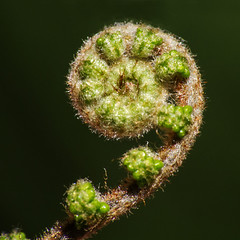 Spiral (LSydney) Tags: macromondays spiral fern macro
