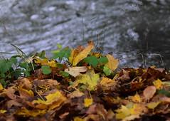 By the river (:Linda:) Tags: germany thuringia town hildburghausen park werra river leaf autumnalleaf