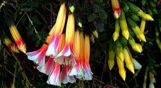SACRED FLOWER of the INCAS